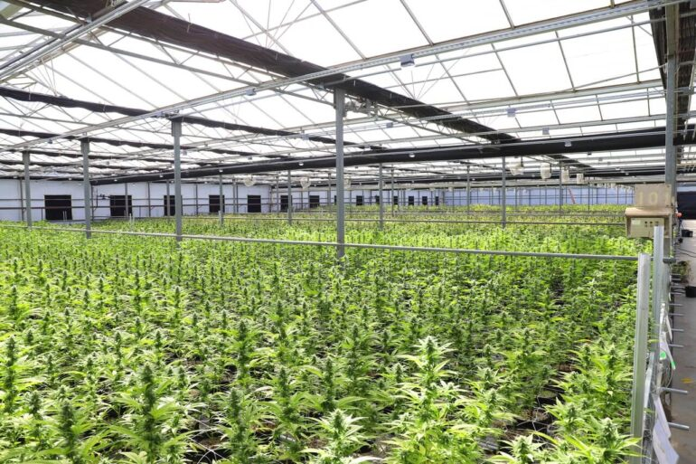 Inside of a marijuana cultivation center that is guarded by security